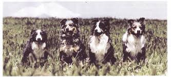 twin oaks 2 australian shepherd old time australian shepherds home facebook