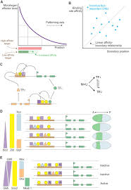 six principles of idea morphogen rules design principles of gradient mediated embryo