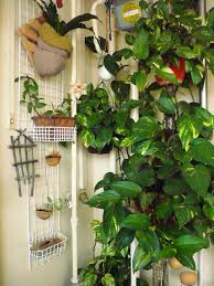 Plants To Grow Indoors How To Grow A Money Plant Indoors This Plant Is Great For An