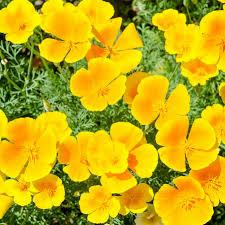 California Poppy California Poppy Orange Flower Seeds
