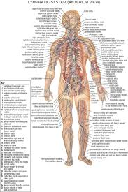 lymph system anatomy gallery learn human anatomy image