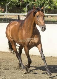 Nice Hourse Destinado A Nice Baroque Pre Stallion U2013 Horses For Sale