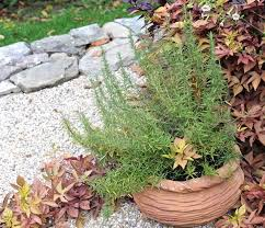 overwintering rosemary indoors and out a way to garden