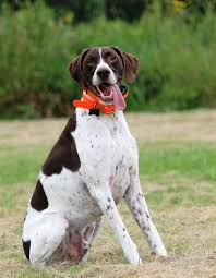 australian shepherd spaniel mix german shorthaired pointer mixed with australian shepherd wallpaper