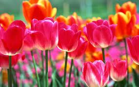 image of spring flowers spring flowers backgrounds is 4k wallpaper yodobi