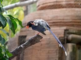 imagenes del animal urraca urraca piquirroja bioparc fuengirola