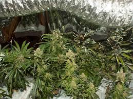 math skills for marijuana grow rooms