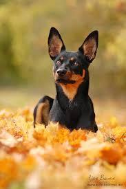 Bench Kelpie Puppies Sale 222 Best Kelpies Images On Pinterest Tables Australian Dog