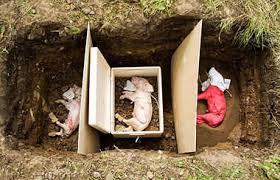 experimental burials piglets heslington east
