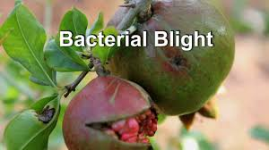 Bacterial Diseases Of Plants - bacterial blight of pomegranate youtube