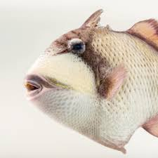 triggerfish national geographic