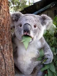 Koala Meme Generator - shocked koala blank template imgflip