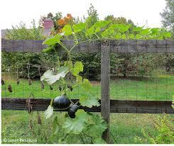 squash vine on fence