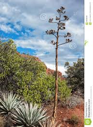 southwest native plants native plants sedona arizona stock photo image 69988399