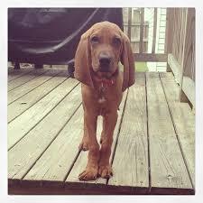 bluetick coonhound and bloodhound mix best 25 redbone coonhound ideas on pinterest red bone hunting
