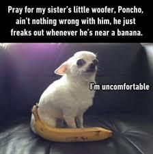 Meme Chihuahua - chihuahua intimidated by banana funny dog pics pinterest