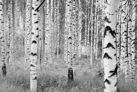 Wall Mural White Birch Trees Wallpops Komar Birch Forest 145 X 98