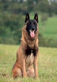 belgian malinois markings 115 best belgian malinois images on pinterest belgian shepherd