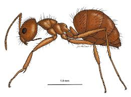 crazy ants are displacing fire ants in areas throughout