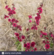 australian native plants with purple flowers leptospermum scoparium burgundy queen pink red small australian