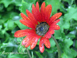 Awesome Looking Flowers Red Daisy Flower Before Blooming Flowers Pictures Indian Flowers