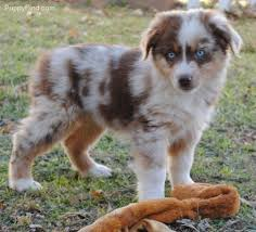 australian shepherd schnauzer mix best 25 miniature australian shepherds ideas on pinterest