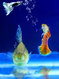ornamental fish free pictures on pixabay