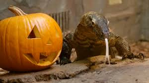animals halloween halloween watch cute animals around the world play with pumpkins