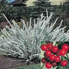 flowering cherry hedge ornamental edible