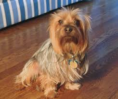 silky terrier with haircut silky terrier facts pictures price and training dog breeds