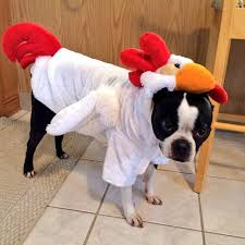 Frenchie Halloween Costume Heard Rooster Crow Morning Rooster Costume