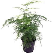 25 Easy Houseplants Easy To by Amazon Com Foxtail Fern Asparagus Meyeri 4