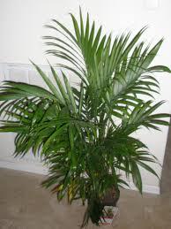 Cateracterum Palm by Trip Feng Shui Impulse Buy U003dbalance You Should Grow That