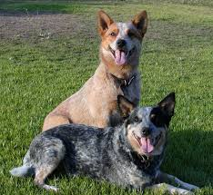 australian shepherd blue heeler australian cattle dog dog breed information puppies u0026 pictures
