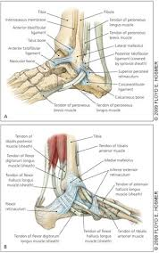 Foot Ligament Anatomy Tendinopathies Of The Foot And Ankle American Family Physician