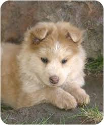 american eskimo dog puppies near me hugs adopted puppy santa ana ca husky american eskimo dog mix