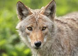 imagenes q interesante 9 cosas que tienes que saber sobre el coyote un animal tan curioso