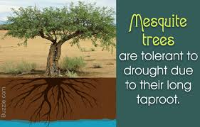 12 really amazing facts about mesquite trees