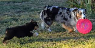south dakota australian shepherd mini aussies 74 ranch mini aussies registered black angus