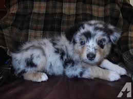 6 week australian shepherd german shepherd puppies for sale in yucca valley ca u2013 dog life photo