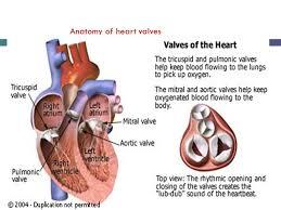 Anatomy Of Heart Valve Mahmoud Abu Abeeleh Associate Professor Department Of Surgery