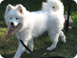 american eskimo dog for sale ontario kreya adopted puppy ottawa on samoyed