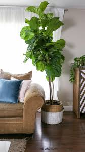 For A Tree How To Care For A Fiddle Leaf Fig Tree Hawthorne And