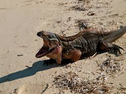iguana island the exumas