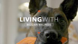 belgian shepherd wanted all about living with the belgian malinois youtube
