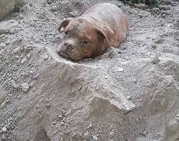 Is It Legal To Bury Your Dog In The Backyard - french dog owner who buried pet alive is arrested after outrage