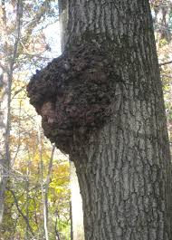 is this chaga a key for identifying this remarkable fungus wild