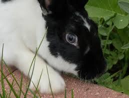 rabbit color genetics chinchilla explained u2013 rabbit smarties