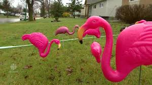 transcona s of plastic lawn flamingos manitoba cbc news