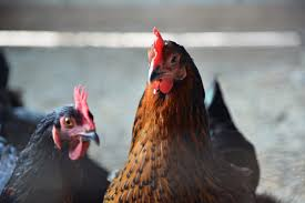 raising chickens in texas free raising chickens in texas with